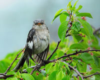 Wet Mockingbird in Tree Stock Photo
