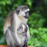 Wet monkey Royalty Free Stock Photography