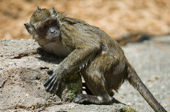 Wet monkey. Leaning on a rock Stock Photo