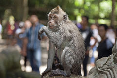 Wet monkey Royalty Free Stock Images