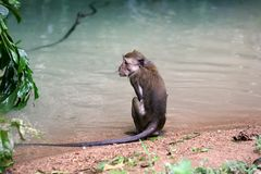 Wet monkey Stock Photography