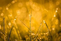 Wet morning grass. Abstract close up of morning grass with dew droplets. Golden light macro with  bokeh effect - useful as background Royalty Free Stock Photo
