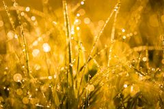 Wet morning grass. Abstract close up of morning grass with dew droplets. Golden light macro with  bokeh effect - useful as background Royalty Free Stock Photos