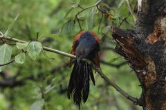 Greater coucal watching from the branch Royalty Free Stock Photos