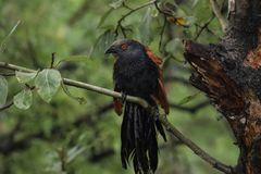 Greater coucal watching from the branch Royalty Free Stock Photo