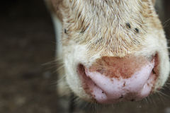 Wet and Muddy Cow Nose. Pink colored wet and muddy cow nose Stock Images
