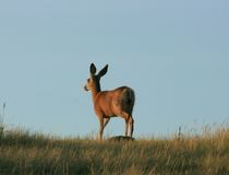 Wet Mule Deer Royalty Free Stock Photography