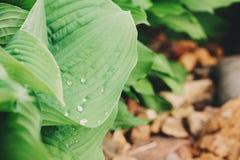 Wet multicolor hosta leaves in spring garden. Stock Photography