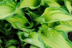 Wet multicolor hosta leaves in spring garden. Royalty Free Stock Photos