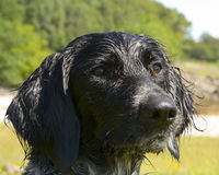 Wet Munsterlander. Wet dog head shot Royalty Free Stock Photography