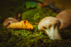 Wet mushroom puffball grows on green moss Royalty Free Stock Photos