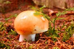 Wet mushrooms Russula Stock Photography