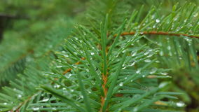 Wet Nature. Dew on a pine tree in the morning stock photo