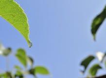 Wet Nectarine Leaf. With sun star against blue sky Stock Photo