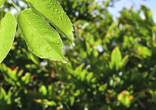 Wet Nectarine Leaves. With sun star against leafy background Stock Photos