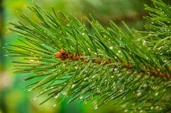 Wet needles. Green needles were eaten in rain droplets Stock Image
