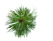 Wet needles on pine tree Stock Image