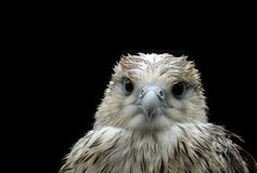 Wet nestling eagle Royalty Free Stock Photography