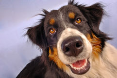 Wet nose. Colse up portrait of a collie dog against the sky Royalty Free Stock Photography