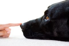 Wet Nose. A white female's hand touches the wet nose of a black labrador retriever, laying on carpet isolated against white background. Narrow DOF, eye in focus Royalty Free Stock Photo