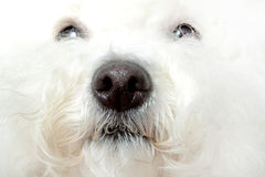 Wet nose of a bichon Royalty Free Stock Photos