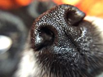 Wet nose macro of a black dog nose stock photography