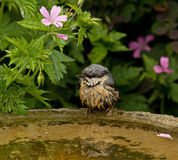 Wet Nuthatch. Fledgling perched on edge of bird bath after taking first bath Stock Photos