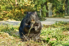 Wet Nutria, or coypu, or swamp beaver lat. Myocastor coypus, a mammal of the rodent eats green leaves. Royalty Free Stock Image