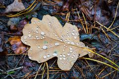 Wet oak leaf with water drops. In forest Royalty Free Stock Photo