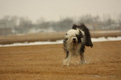 Wet Old English Sheepdog Running Stock Image