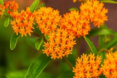 Wet orange butterfly bush is blooming after the rain stopped. A wet orange butterfly bush is blooming after the rain stopped stock image