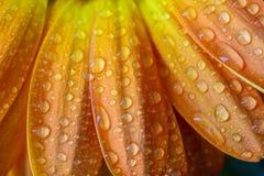 Wet orange daisy petals Royalty Free Stock Photos