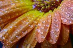 Wet orange daisy petals Stock Photography