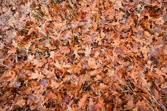Wet orange fallen oak leaves lie on grass and moss in an autumn meadow, seasonal emotional flat lay background. Texture photo royalty free stock photography
