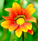 Wet orange flower Royalty Free Stock Photo