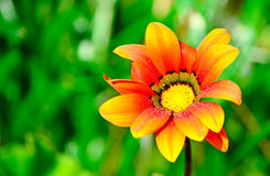 Wet orange flower Stock Photography