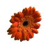 Wet orange flower isolated with clippingpath. Royalty Free Stock Photos