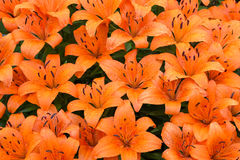 Wet Orange Lilies Stock Images