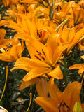 Wet orange lily. In a summer garden Royalty Free Stock Image