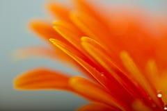 Wet orange petals of gerbera daisy flower Royalty Free Stock Photo