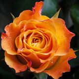 Wet orange and red rose flower close-up. Photo with shallow depth of field Stock Photo
