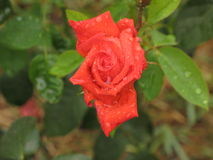 Wet orange rose. Wet little summer orange rose flower in the garden royalty free stock photography