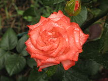 Wet orange rose. Wet summer orange rose flower in the garden stock images