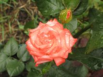 Wet orange rose. Wet summer orange rose flower in the garden stock photography