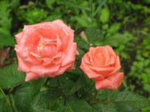 Wet orange roses Stock Photography