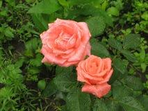 Wet orange roses Royalty Free Stock Photography