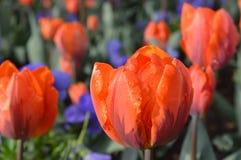 Wet orange tulip tulips. In garden park stock images