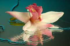 Wet orchid #2. Wet orchid on a mirror Royalty Free Stock Images