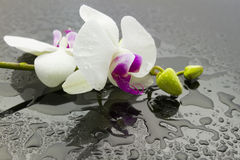Wet orchid Royalty Free Stock Image