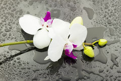 Wet orchid Stock Images